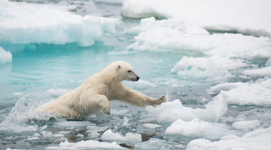 Polar Bear Leaping