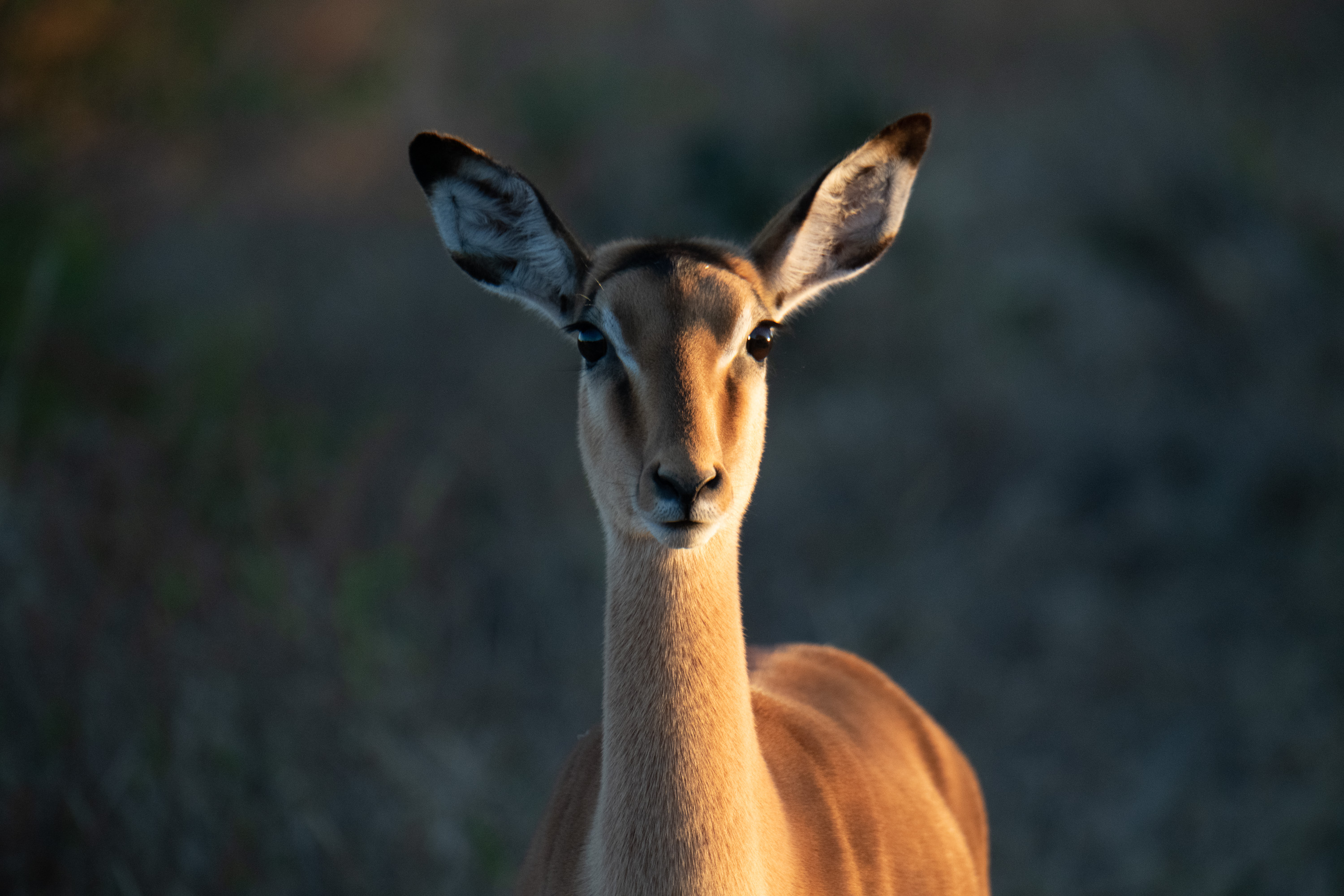 African Impala in the morning light