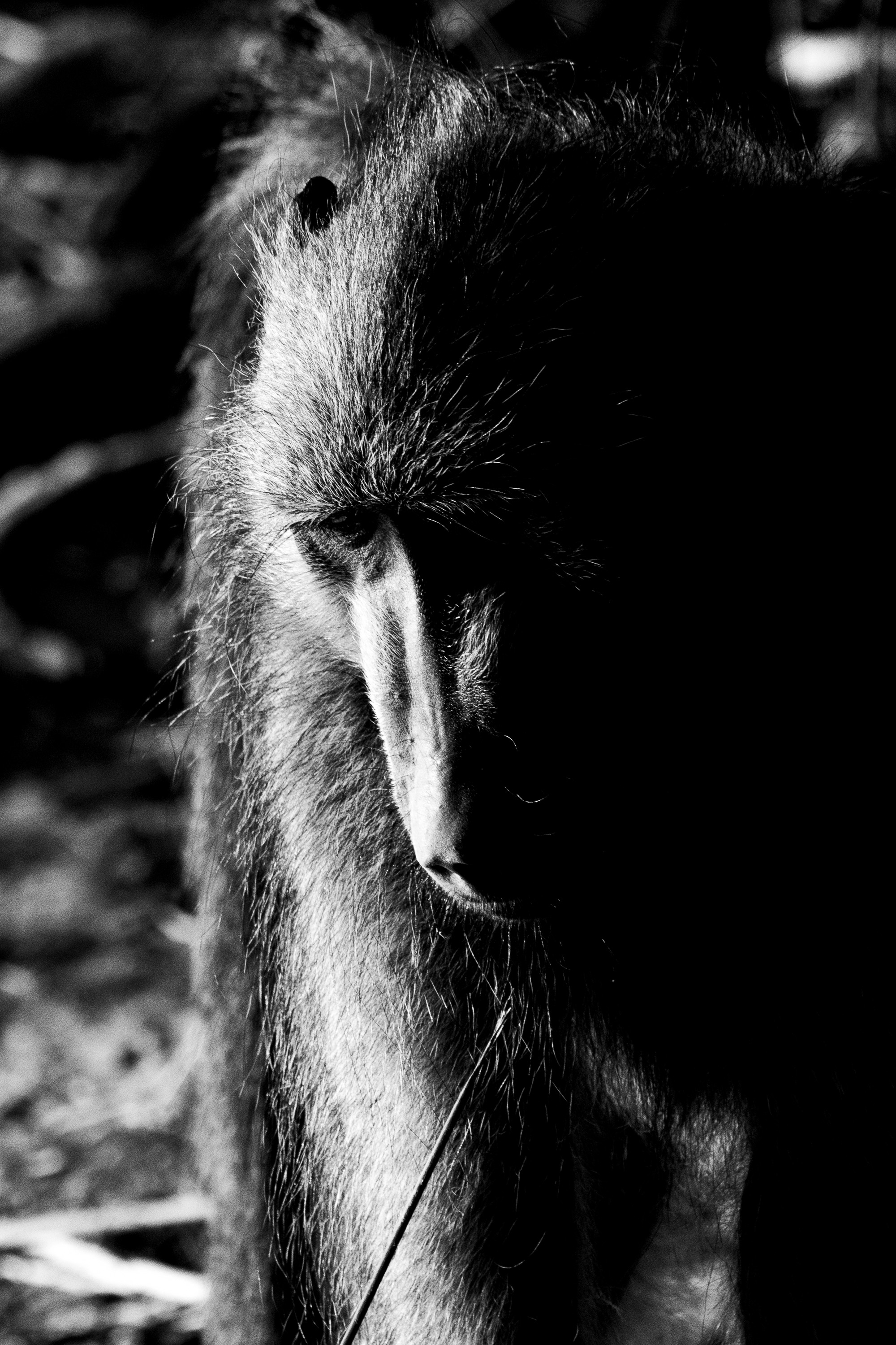 Baboon in black and white