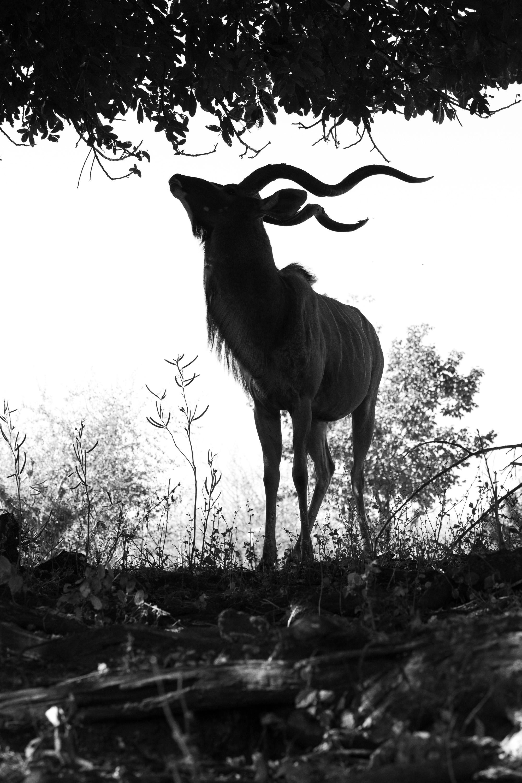 African Kudu Silhouette