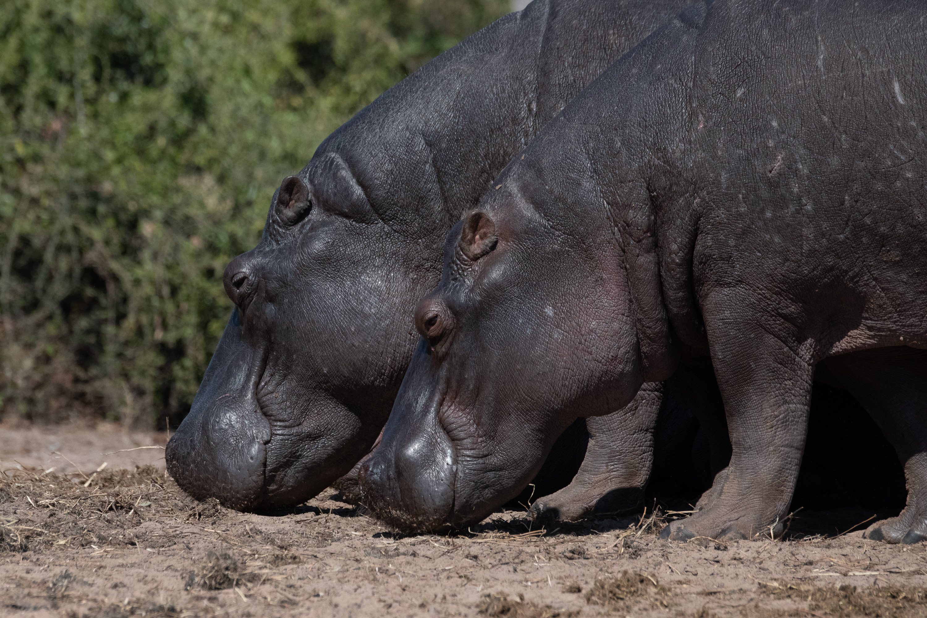 Smiling hippos along the Chobe River in Botswana