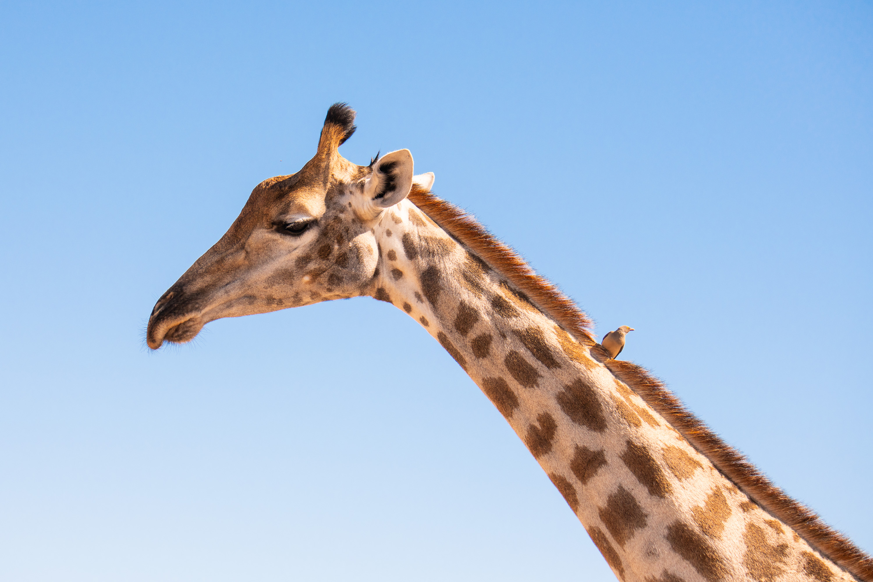 A small bird catches a ride on the neck of a tall giraffe