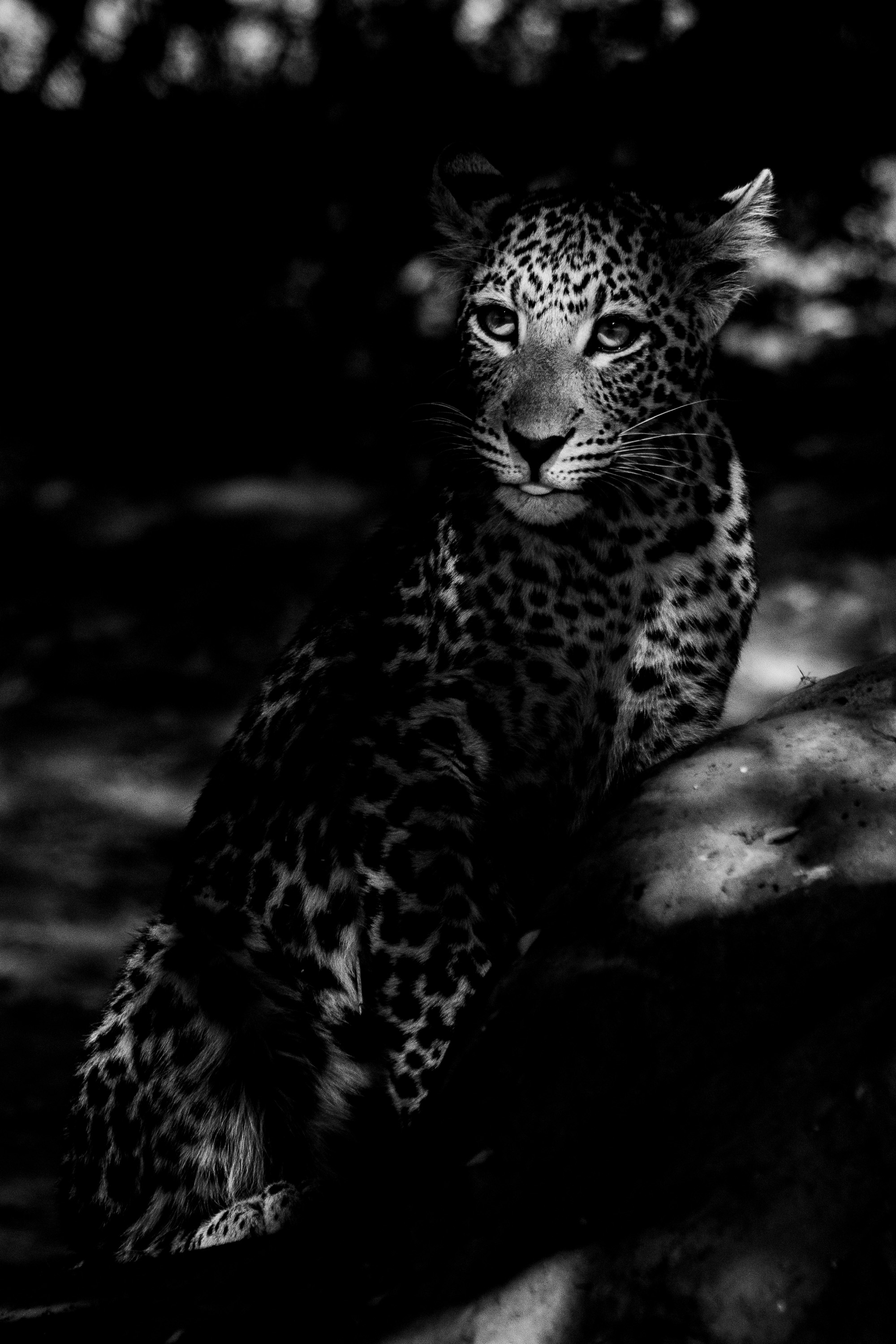 Black and white image of a young leopard